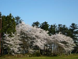 春の芳澤公園2